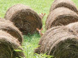 deer among round bales of hay