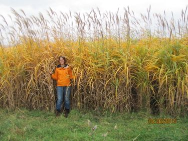 Miscanthus, a bioenergy crop that produces large amounts of biomass for combustion and making ethanol