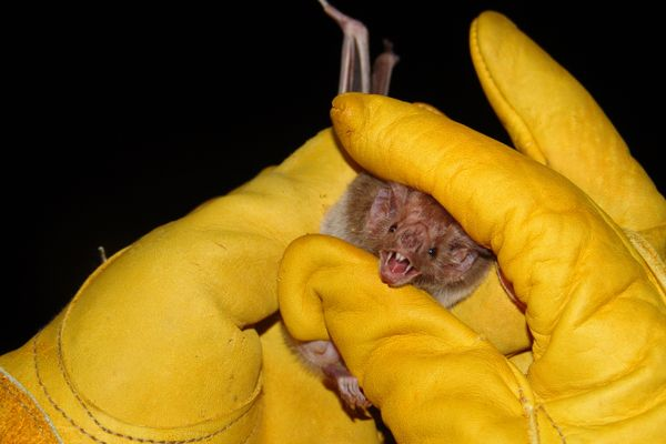 a vampire bat held between yellow gloved hands