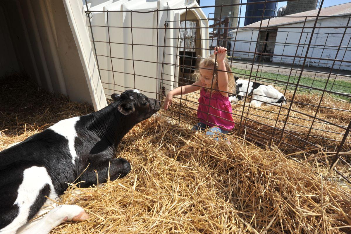 Girl investigates cow at Kiddie Days