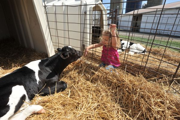 Girl investigates cow at Kiddie Days