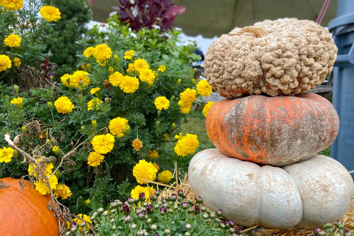 Mums and pumpkins posed