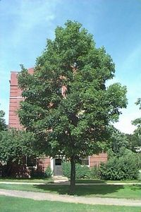 Sugar Maple, West Virginia's State Tree