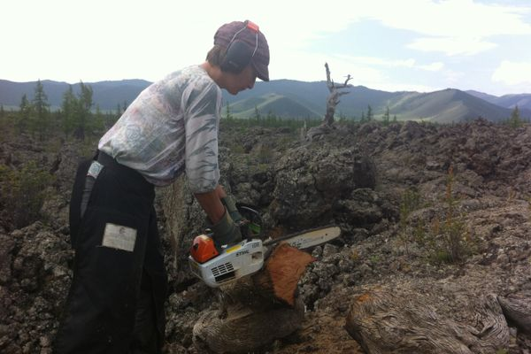 A woman cuts a tree with a chainsaw