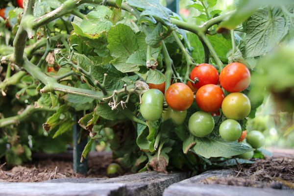 photo of ripe, ripening and green tomatoes on the vine