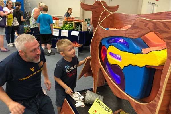 Young fairgoer learns about a cow's digestive system from a WVU volunteer.