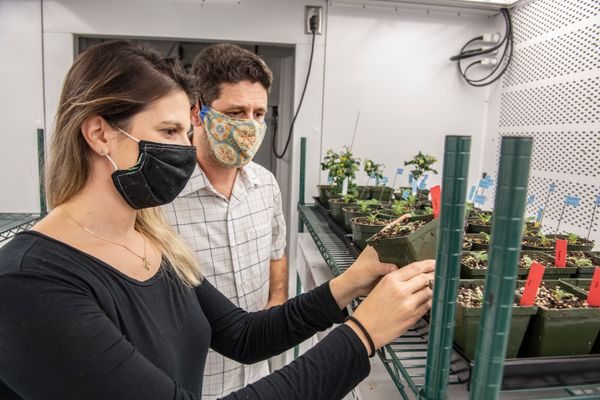 people in masks look at tomato plants