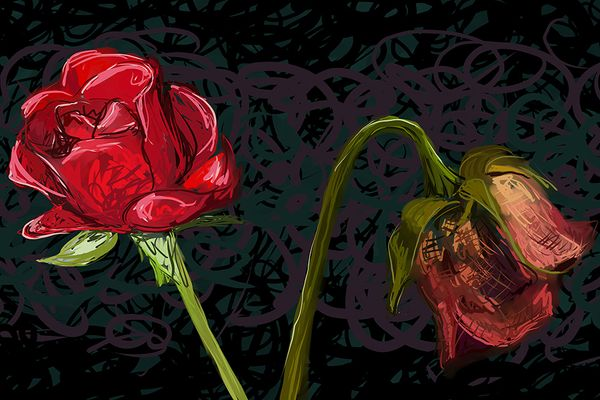 blooming rose, dying rose
