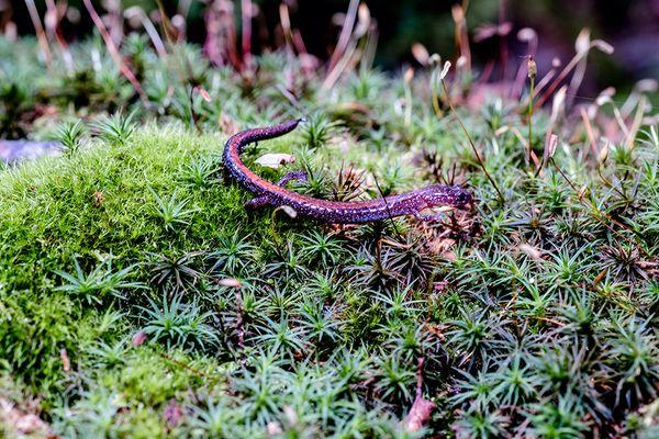 Salamander on moss.