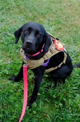 Photo of black dog is service dog vest with red leash