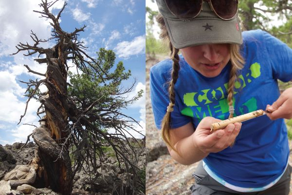 Left: Siberian pine tree with spiral growth; Right: Kristen De Graauw, examines core from ancient Siberian pine in Mongolia.
