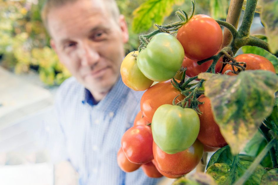 Michael Gutensohn looking at tomatoes.