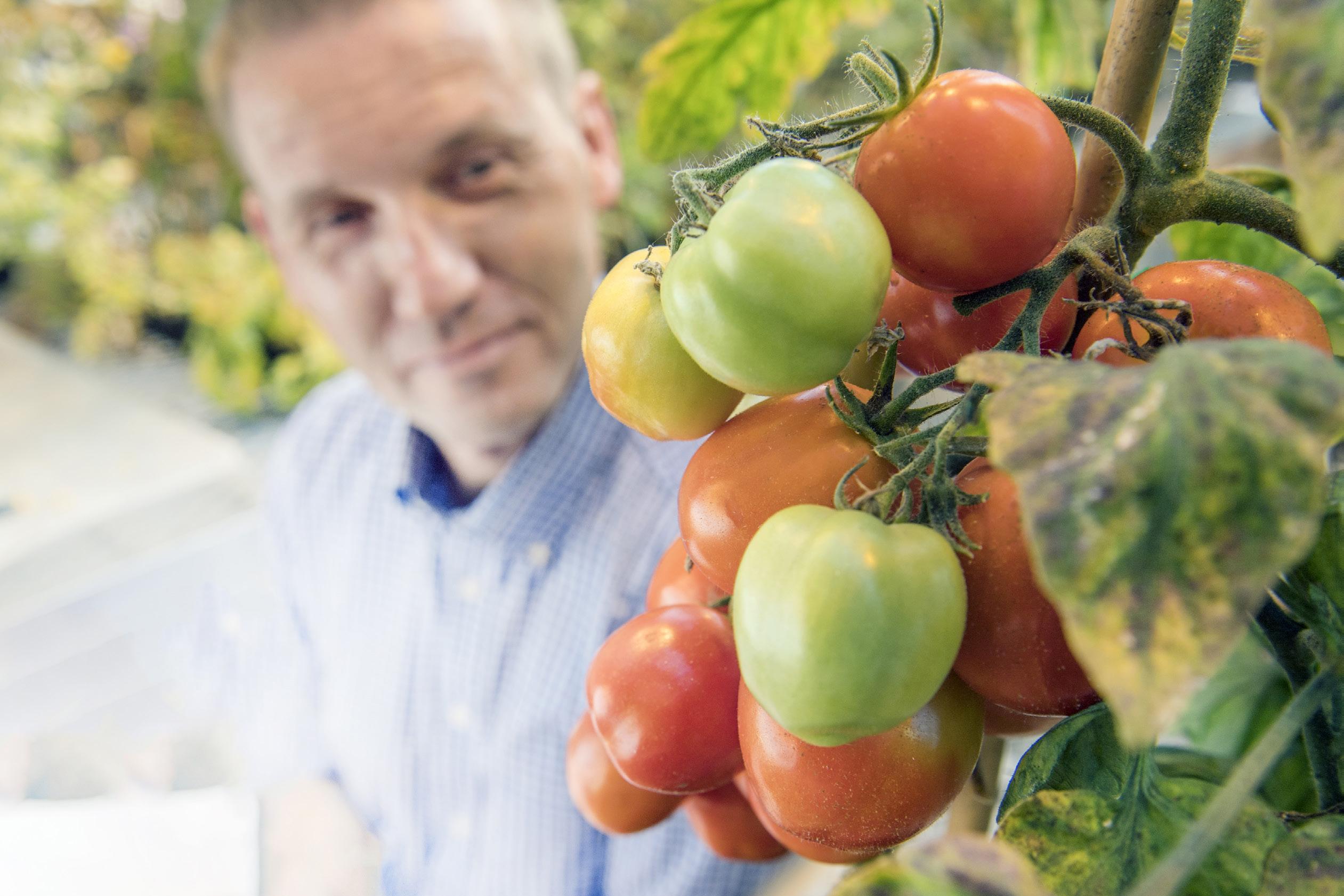 Michael Gutensohn looking at tomatoes.