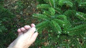 hand on an evergreen tree branch