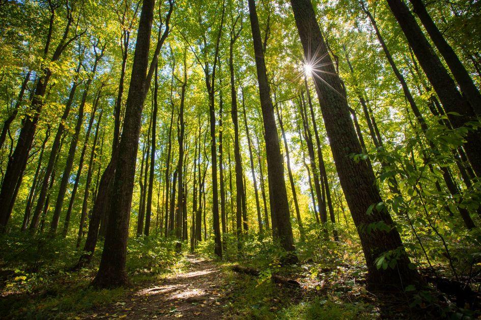 Sunlight shines through tall hardwood trees along a path
