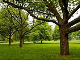 Trees in a grassy lawn