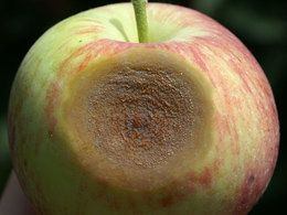 close up of an apple with a disease