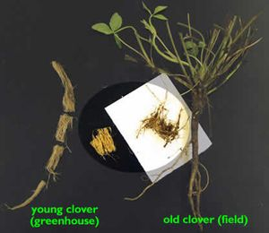 Illustration of young and old clover