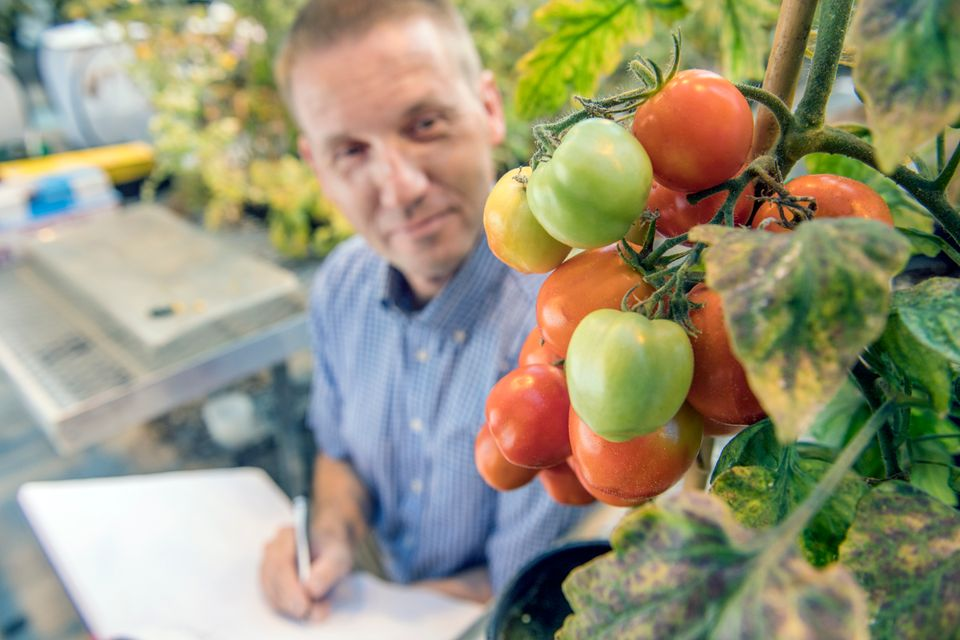 A WVU professor examining tomatoes on a vine