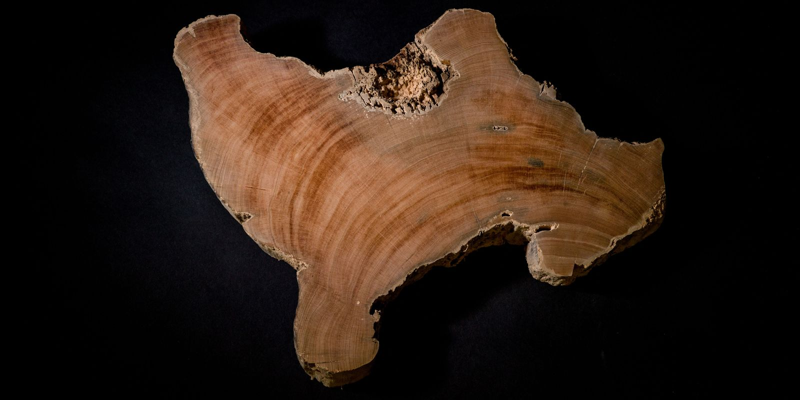 These tree samples came from more than 10,000 miles across the Pacific Ocean, in Tasmania, Australia