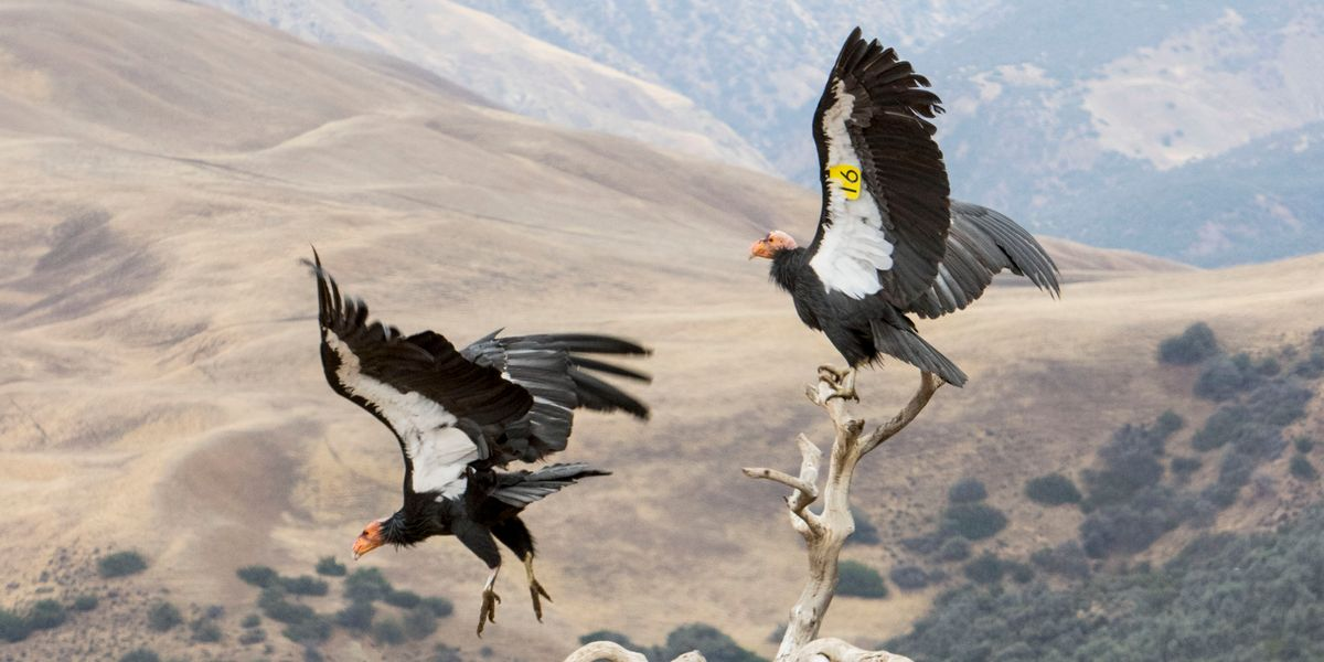 condors -cropped