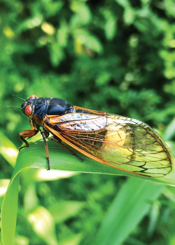 Cicada on a plant.