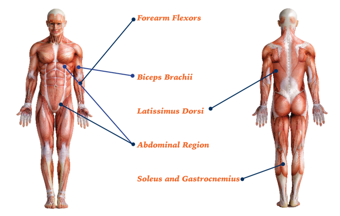 Muscular system diagram showing where the forearm flexors, biceps brachii, latissimus Dorsi, Abdominal Region, and soleus and Gastrocnemius are located o the human body as described in text.