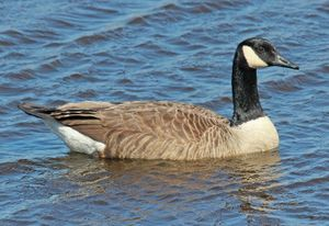Canada goose in water.