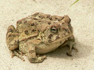 Fowler's toad sitting on sand.