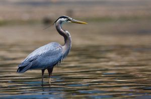 Great Blue Heron standing in water.