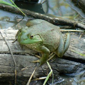 American bullfrog sitting on a branch in water.