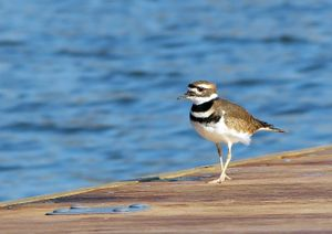 Killdeer walking on pier next to water