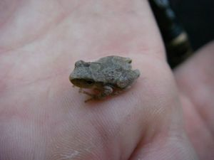 Spring peeper in the palm of a hand.