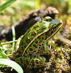Northern Leopard Frog sitting on moss.