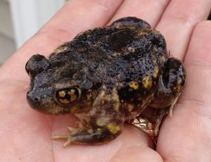 Eastern Spadefoot sitting in the palm of a hand.