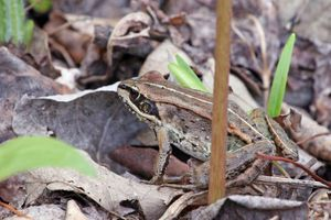 Wood Frog standing in dead leaves.