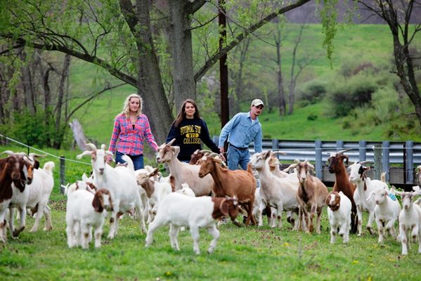 "Potomac State College of WVU's Upper Farm, adjacent to the College. Agriculture Students Shelby Boatwright, Jaclyn ""Jackie"" Cleaver and Eric Husick were herding meats goats to the barn."